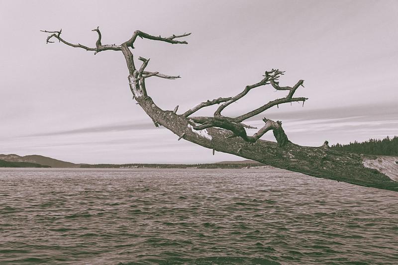 A dead, barren tree hangs out over the ocean in Washington Park, Anacortes, Washington.