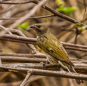 Lesser Honeyguide