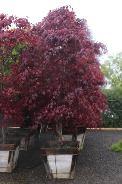 Acer palmatum 'Bloodgood' Specimen, 3 in, #30 box (3).JPG