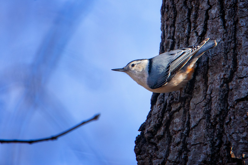 3.17.19 - Prairie Creek Campground: White-Breasted Nuthatch.