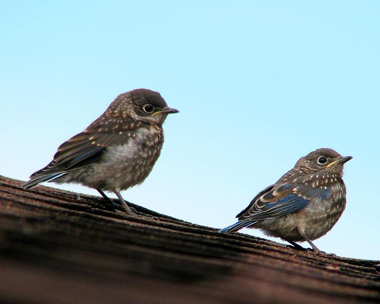 bluebird_fledgling_1151.jpg