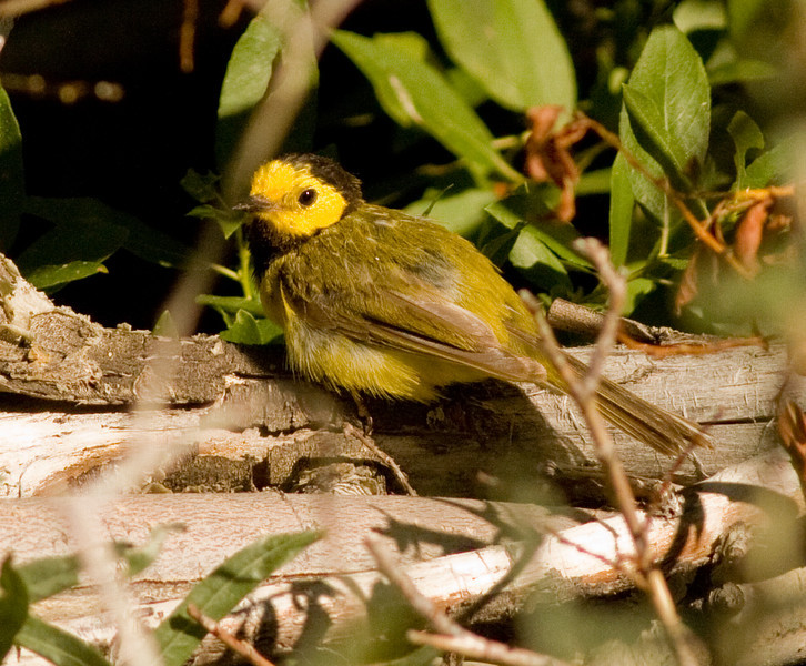 Hooded Warbler Wild Rose Canyon Ca. 2009 07 21-5.CR2