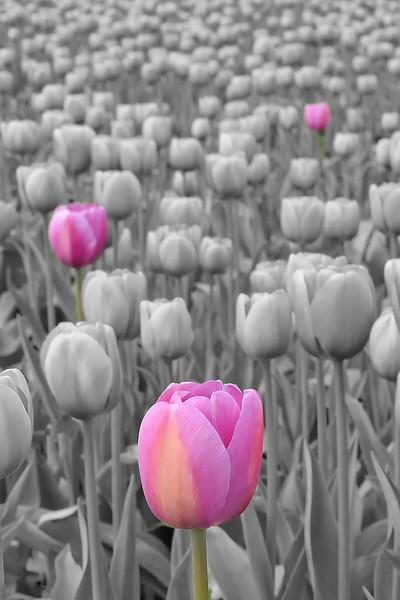Tulips at Skagit 2
