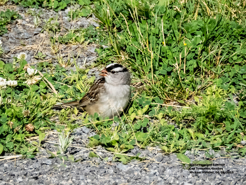 a624 1538 IMG_1111 3T White-crowned sparrow Cap Tormente Quebec.jpg