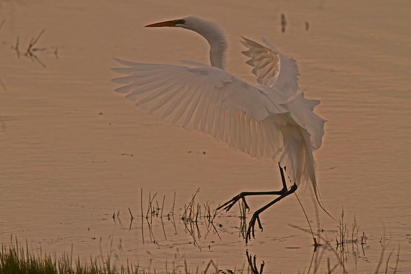 Great Egret Landing, Las Gallinas