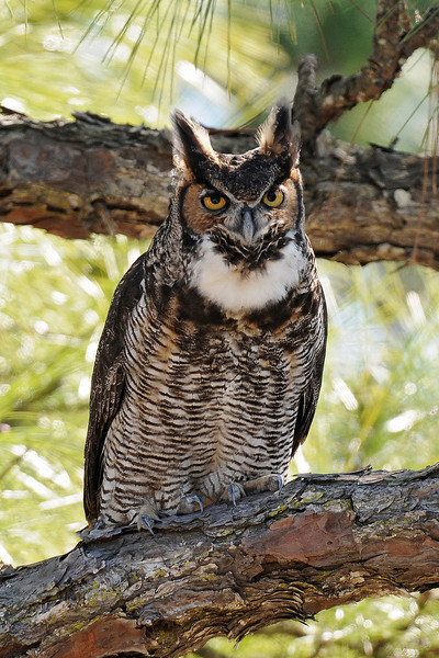 Owl - Great Horned - Salinas Park,  FL - 01