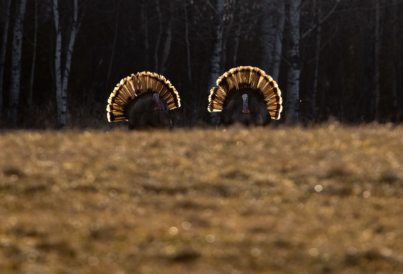 Wild Turkey flock displaying male toms courtship Skogstjarna Carlton County MN Copy 1 IMGC5745.jpg