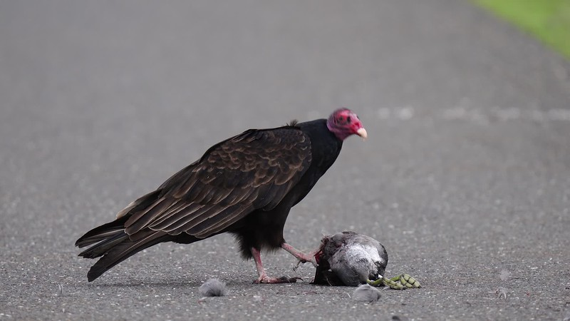 Turkey Vulture Video