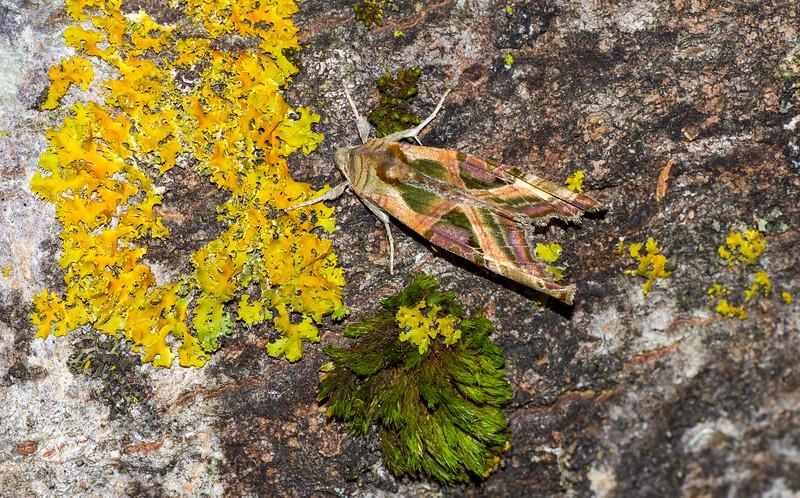 Phlogophora iris Olive Angle Shades 93-2291 9546 Family Noctuidae moth Skogstjarna Carlton County MN IMG_0522.jpg