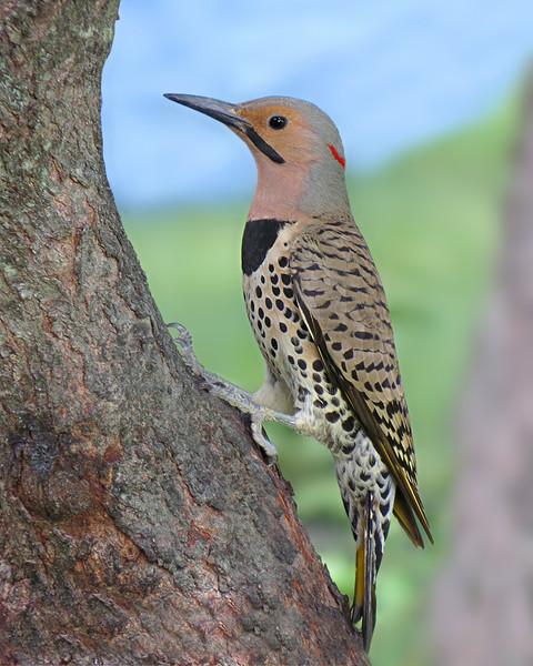 sx50_flicker_bit_woodpecker_067.jpg