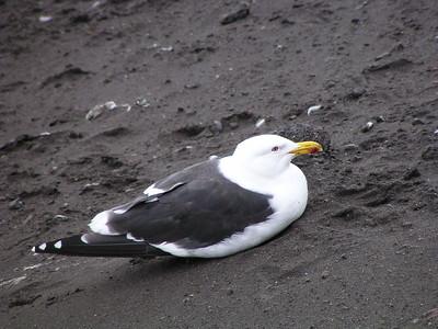 Gulls, Terns and Skuas