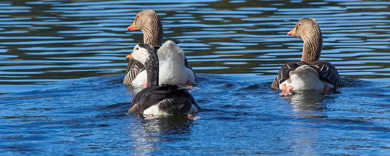 _IK35467 - Dunecht Greylag Geese.jpg