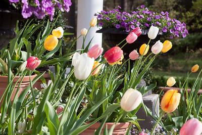 Richard & Donia Kolodziejcyk's Tulips
