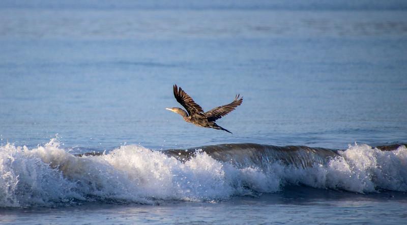 great cormorant flying