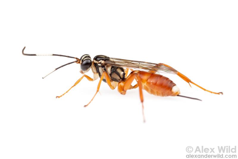 Ichneumonidae: Cryptinae