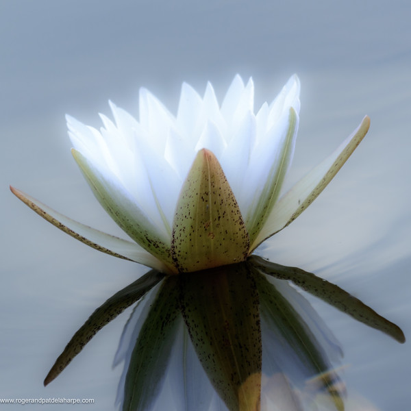 Blue Star Water Lily Art Print