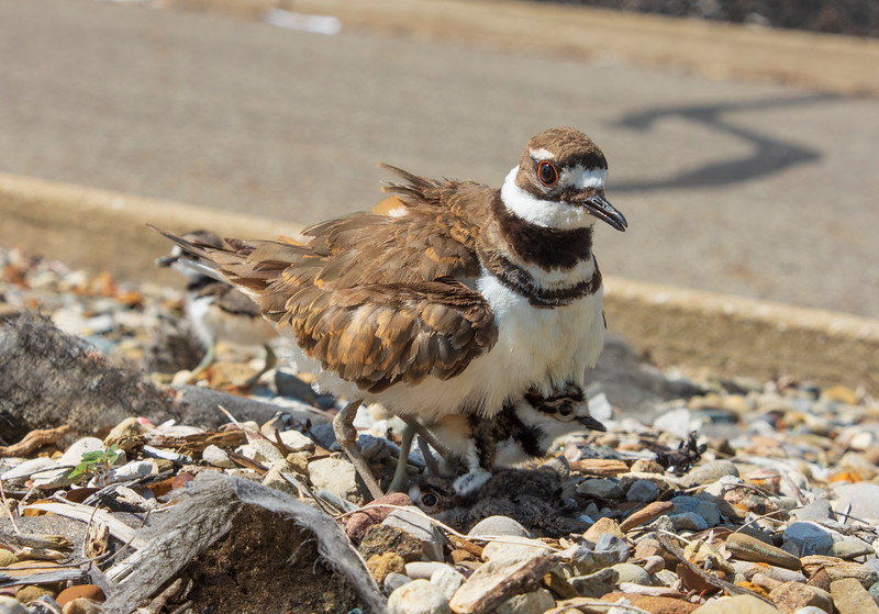 Killdeer-hatchling-parent-Lowes2.jpg