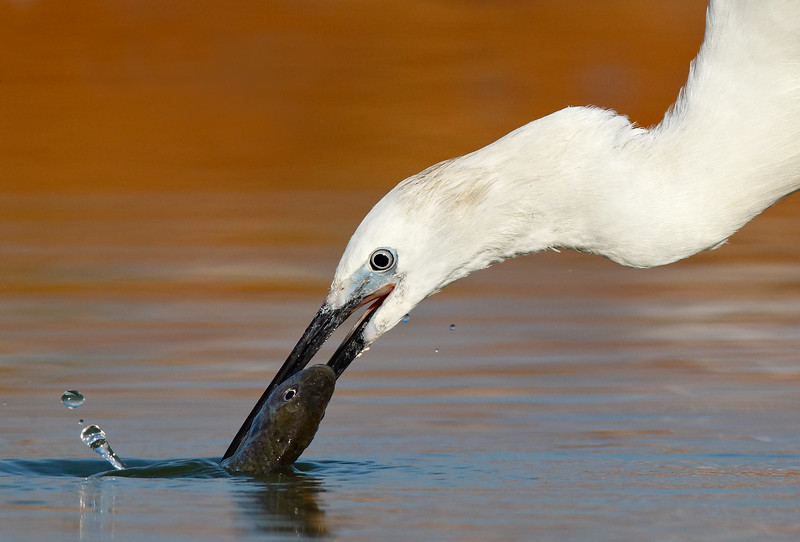 Little Egret fishing CU MASTER.jpg