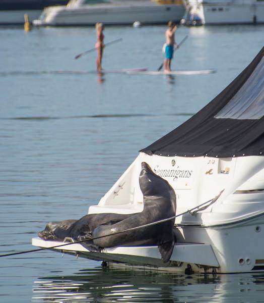 Newport Harbor_Sea Lions-11.jpg
