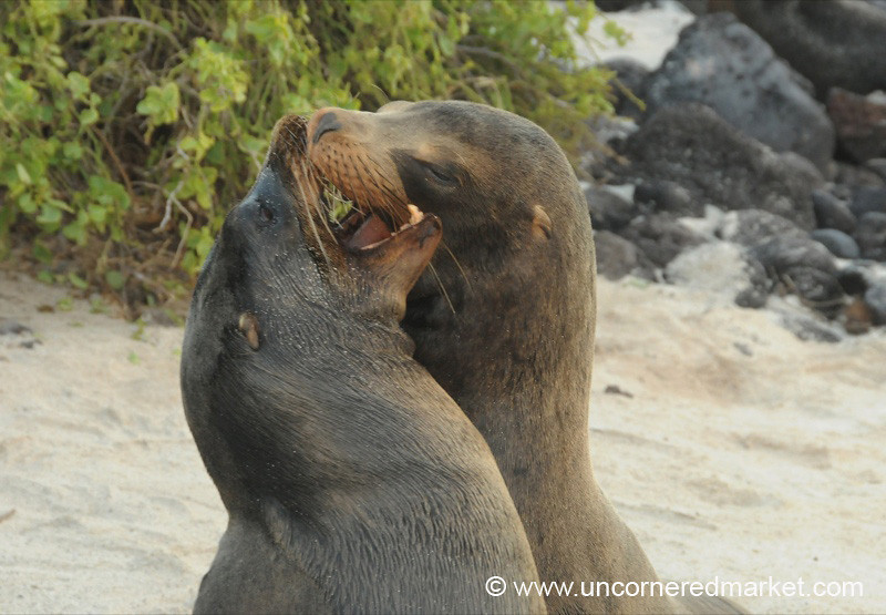 Fighting to Be Alpha Male? - Galapagos Islands