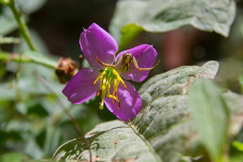 crab spider on flower.jpg
