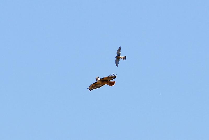 Hawk_082310_046.jpg