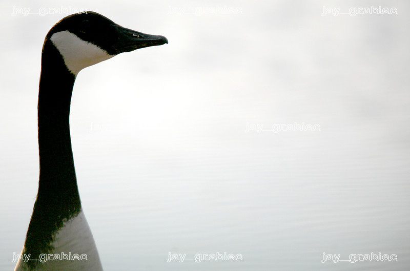 A Canada  Goose keeps watch over Lake Paradise just off of East Lake Paradise Road in Mattoon, Illinois on Monday, March 16, 2009.
