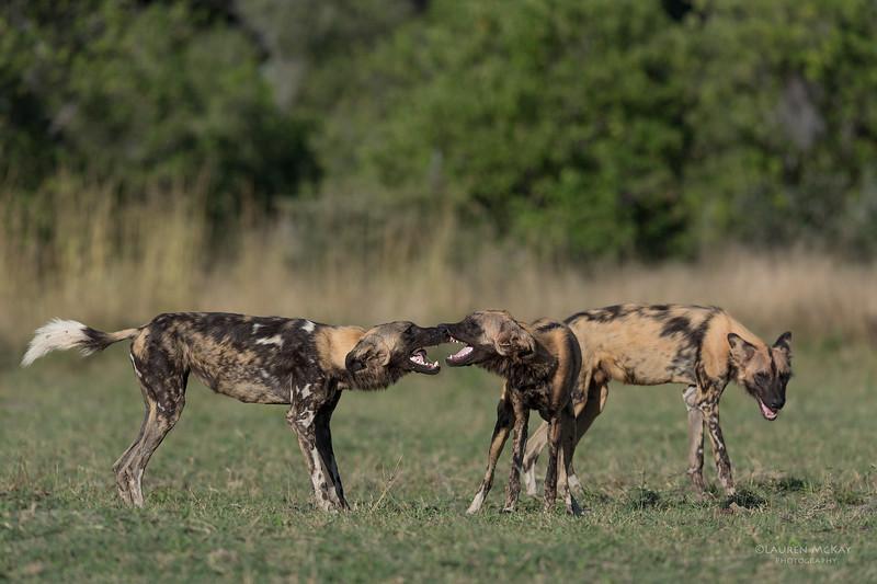 African Wild Dog, Khwai River Concession, Botwana, May 2017-5.jpg