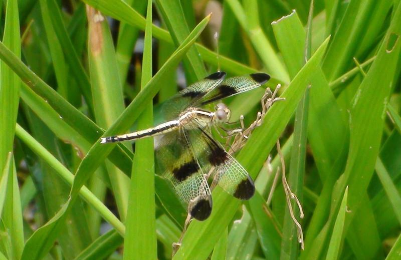Dragonfly, Cambodia
