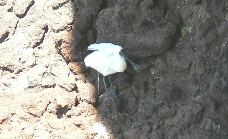 5RoyalSpoonbill857 Nov 26, 2009  12:40 p.m.  P1050857 Royal Spoonbill  in the shade of the cliff at Taiaroa Head.   Platalea regia.