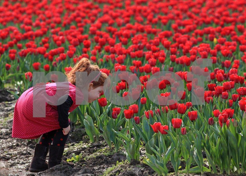 Girl smells tulip 3633c.jpg