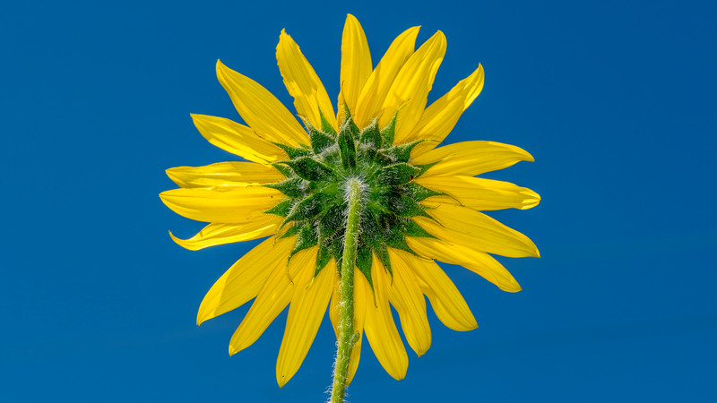 00500 Flowers 0033 Sunflower on Blue.jpg
