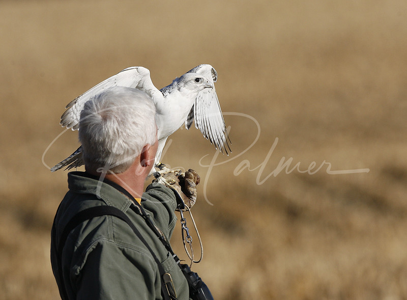 White Gyrfalcon and Falconer