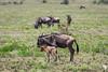 New Life in the Serengeti