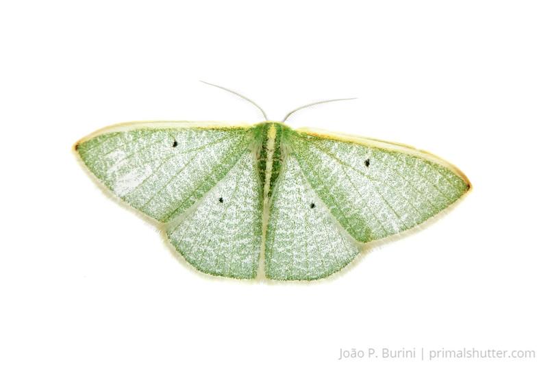 Moth (Lepidoptera) Ribeirão Grande, SP, Brazil November 2012 Tropical forest / Atlantic forest