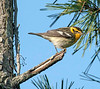 blackburnain warbler, spring female, LI, NY