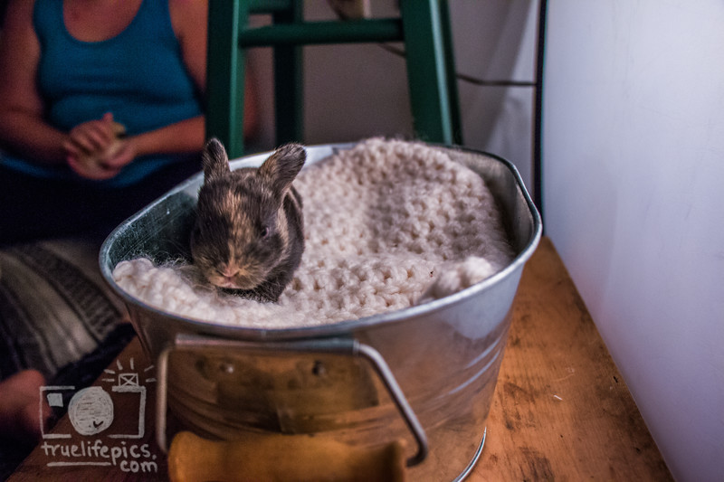 20160815 11 day old bunnies (60).jpg