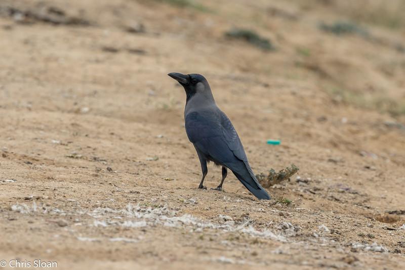 House Crow at Ukkadam Big Tank, Coimbatore, Tamil Nadu, India (02-27-2015) 061-95.jpg