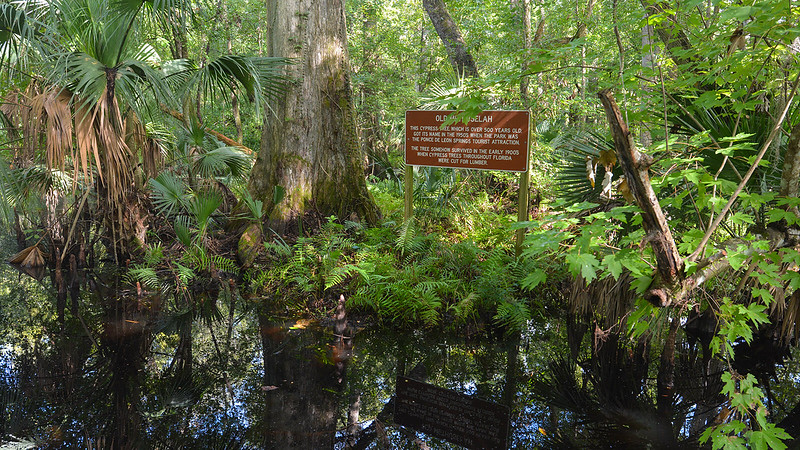 Giant cypress with interpretive sign