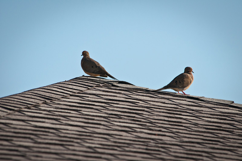 Common Ground Dove (on a roof)