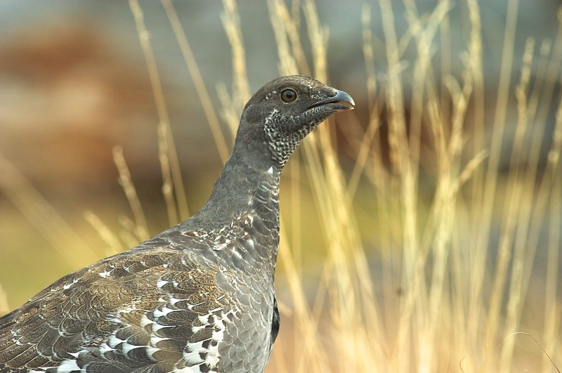 """Formerly called """"Blue Grouse,"""" the Rocky Mountain population is now known as Dusky Grouse. The Pacific coast population is known as Sooty Grouse [September; Yellowstone National Park, Wyoming]"""