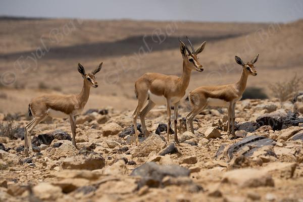 Gazella dorcas -צבי נגב