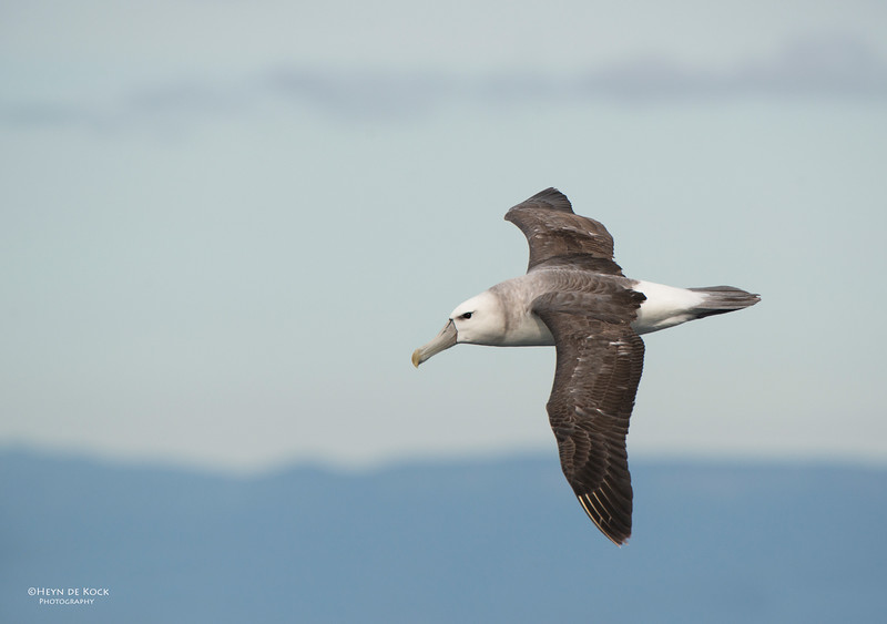 Shy Albatross, sub-adult, Wollongong Pelagic, NSW, Aus, Oct 2013-1.jpg