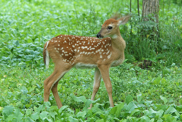 White-tailed Deer - Fawn - Pine County, MN