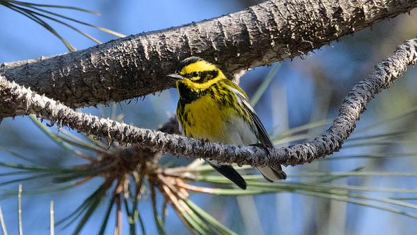 Encinitas/Del Mar Birds 12/2/2017