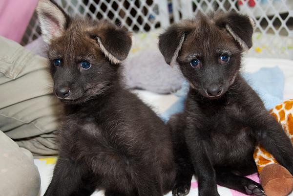 Maned Wolf Pups born at Houston Zoo