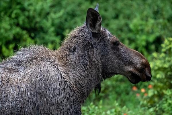 7-9-20 Moose KC