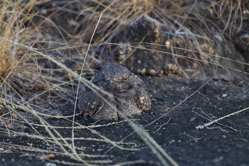 Indian Nightjar - Pench National Park, Madhya Pradesh, India