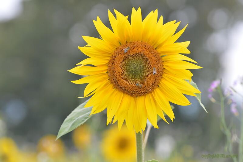 Sunflower Lonay_20092020 (64).JPG