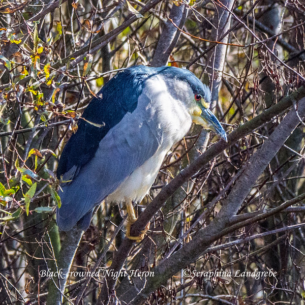 _DSC2340Night Heron.jpg